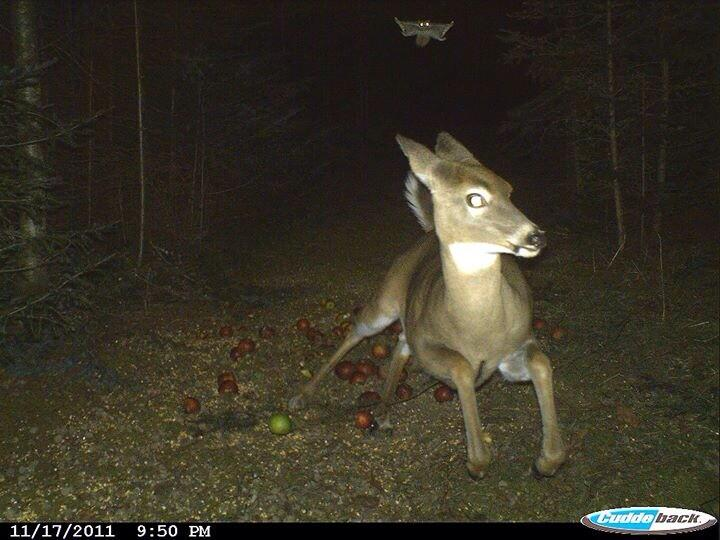 flying squirrel vs deer.jpg