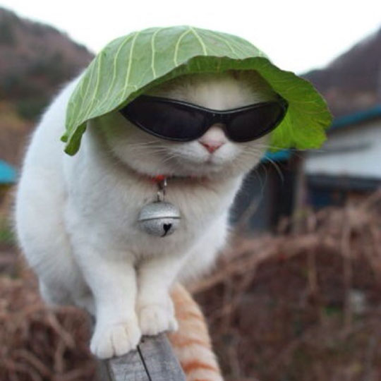 funny-cat-sunglasses-lettuce-hat.jpg